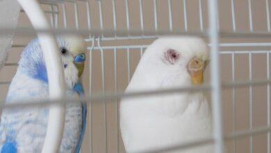 Photo of Kafes Kuşlarında Mantar Hastalığı