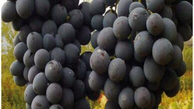 Photo of Erzincan'ın Endemik Meyvesi: Cimin Üzümü