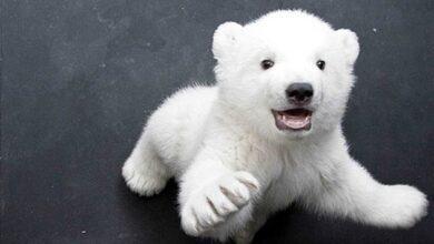 Photo of Kutuplarda Hayvanlar Nasıl Yaşayabiliyorlar?