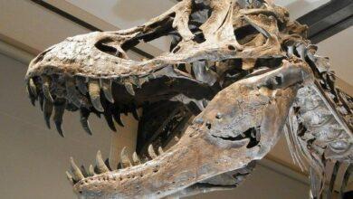 Photo of Japonya'da 81 Milyon Yıllık Dinozor Dişleri Bulundu