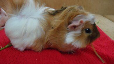 Photo of Abessian Guinea Pig Bakımı Nasıl Olmalıdır?