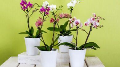 Photo of Orkide Bakımı Nasıl Yapılır?