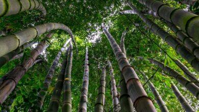 Photo of Bambu Nedir ? Nerelerde Kullanılır ?