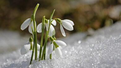 Photo of Bir Kardelen Çiçeği Hikayesi