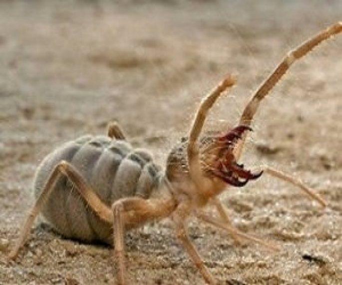 Sarıkız Böceği Nedir? Nerelerde Görülür?