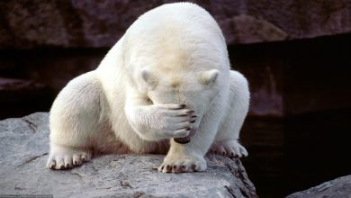 Photo of Kutup Ayıları Kendilerini Nasıl Gizler?