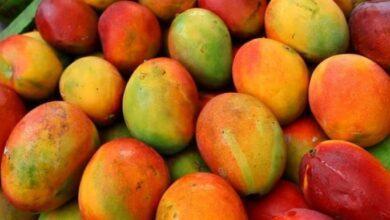 Photo of Mango Nedir? Mangonun Faydaları Nelerdir?