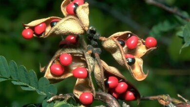 Photo of Tehlikeli Bitkiler Ve Özellikleri
