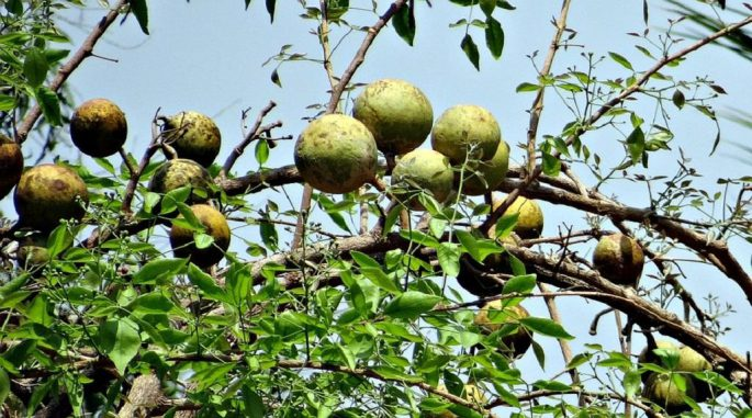 Bael Meyvesinin Faydaları ,Bael Meyvesi Nedir?