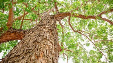 Photo of Neem Ağacı Nedir? Faydaları Nelerdir?