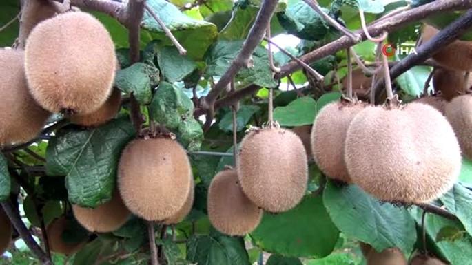 Kivi Meyvesi'nin Faydaları Nelerdir?