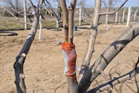 Hangi Ağaca, Hangi Tür Ağaç Aşısı Yapılır?
