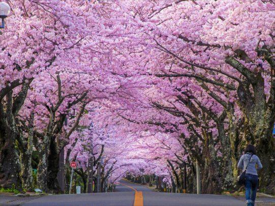 Sakura Nedir? Japon Kültüründeki Önemi