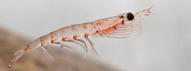 Krill Yağı (Krill Oil) Nedir? Faydaları Nelerdir?